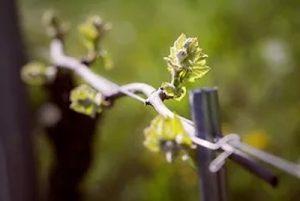Metodo Grimaldi per le vigne: particolare